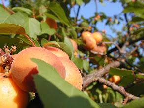 Photo: Apricot tree