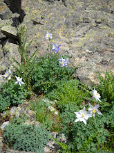 Photo: Pale and blue columbine, upper Gold Creek