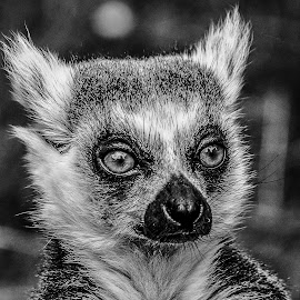 Lemur by Garry Chisholm - Black & White Animals ( garry chisholm, nature, wildlife, primate, lemur )