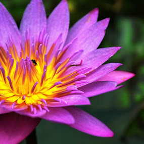 Puple Water Lily.... by Ruhi Chanda - Nature Up Close Flowers - 2011-2013 ( macro, nature, purple, petals, yellow, water lily, flowers )