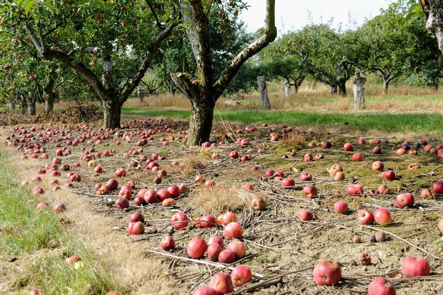 Maldon Orchard by Mike Tricker - Food & Drink Fruits & Vegetables ( apple, orchard, apples, apple tree,  )