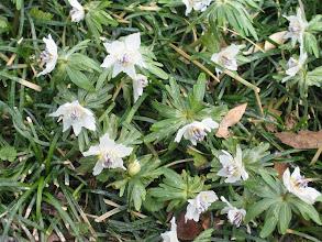 Photo: セツブンソウ(キンポウゲ科) 2/5 石雲寺にて。春を呼ぶ可憐な花です。