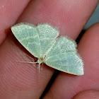 Blackberry looper moth