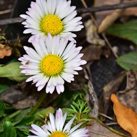 daisy flower by LADOCKi Elvira - Flowers Single Flower ( floral, nature, plants, garden, flower )