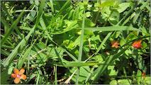 Photo: Scanteiuta ( Primulacee, Anagalis arvensis L ) de pe Str. Andrei Muresanu spatiu verde - 2018.06.25  http://ana-maria-catalina.blogspot.com/2016/04/primule.html