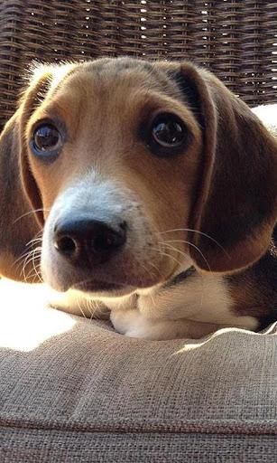 Beagles Dog Wallpapers