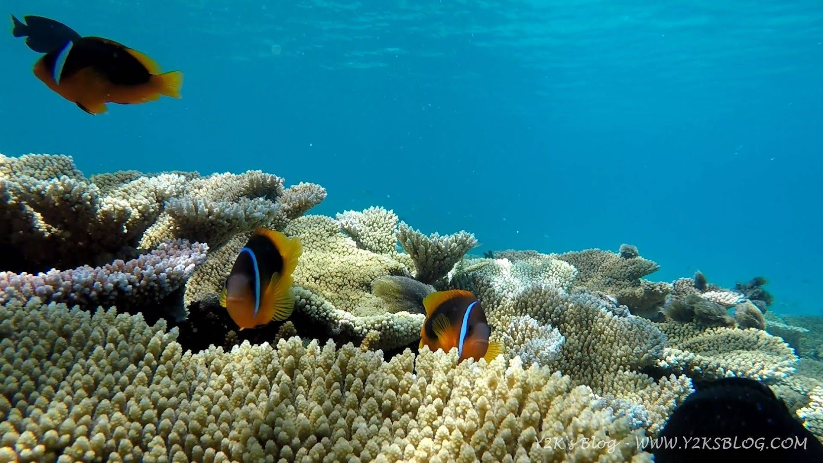 Pesci clown fanno capolino fra i coralli e le anemoni - Ha'apai