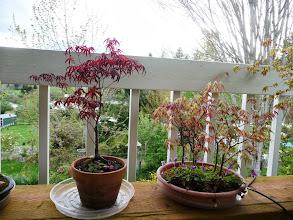 Photo: spring bonsais