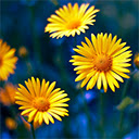 Yellow Flowers Wallpapers NewTab Theme