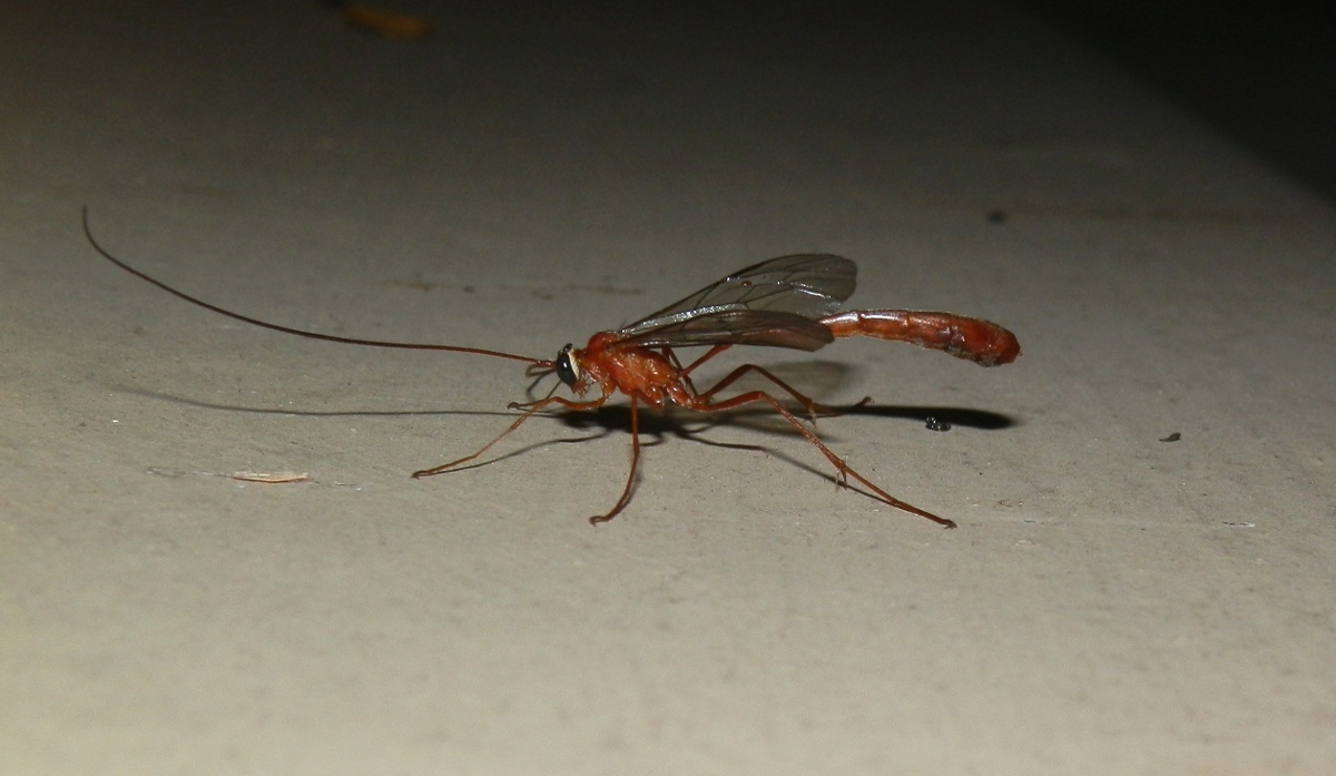 Slender Brown Ichneumon wasp