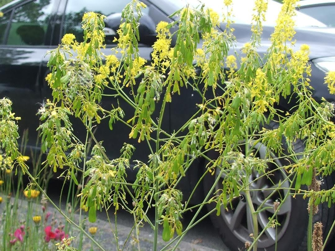 Woad in the Eastham Rake station car park. Photo: Hilary Ash