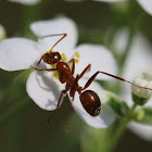 American Carpenter Ant