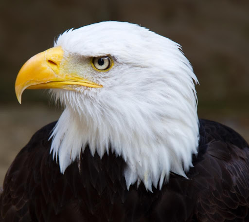 Bald Eagles Wallpapers HD FREE