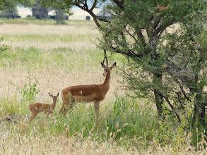 Photo: Impala, the McDonalds of the plains