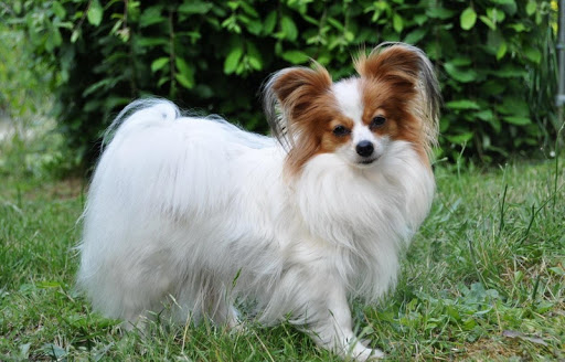 Papillon dog Live Wallpaper