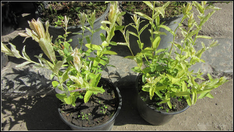 Photo: Salcie japonez (Salix Hacuro Nishiki) - din Piata Centrala Agroalimentara - 2017.05.11 Album http://ana-maria-catalina.blogspot.ro/2017/05/plante-diverse-din-comert.html