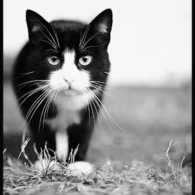 by Ivona Bezmalinovic - Animals - Cats Portraits ( cat, bw )