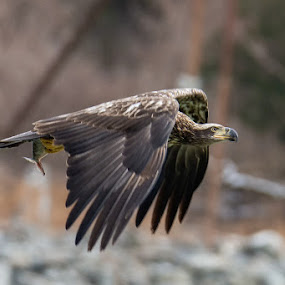 Juvenile Bald Eagle at Conowingo Dam by Jerry Hoffman - Animals Birds (  )