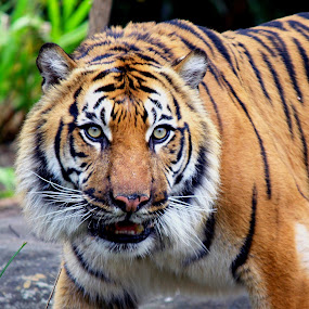 Sumatran Tiger by Deb Thomas - Animals Lions, Tigers & Big Cats ( cat, endangered tiger, tiger, big, portrait,  )