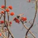 Indian Coral tree, Pangara, पांगारा