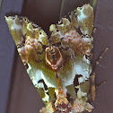 Noctuid, Moth