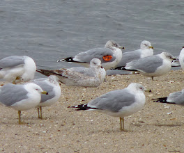 Photo: Tagged Ring-billed Gull