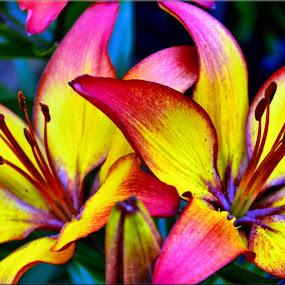 flower by Nic Scott - Flowers Single Flower ( flowers, lily,  )