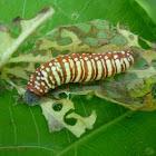 Pellicia Caterpillar
