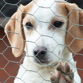 Please let me play! by Stephen McKibbin - Animals - Dogs Portraits ( dogs, beagles )