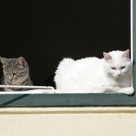 Two models in the window by Helena Moravusova - Animals - Cats Portraits ( cats, animals )