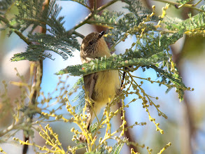 Photo: Yellow Thornbill