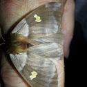 Stinging Lichen Moth