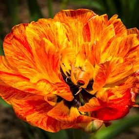 by Frank Barnitz - Flowers Single Flower ( red, yellow, flower )