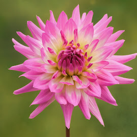 Purple white dahlia by Jim Downey - Flowers Single Flower