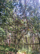 Photo: The eucalyptus here is actually on top of the oak sapling.