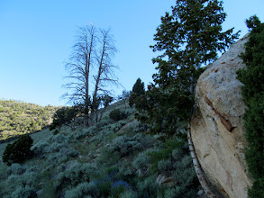 Photo: Pine tree growing against a boulder