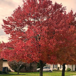 Red Tree by Debra Summers - Nature Up Close Trees & Bushes ( grass, tree, roads )