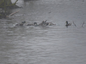 Photo: Priorslee Flash Somewhere in this misty melee is a duck Mallard, probably well underwater and she will be lucky to escape being drowned the battling testosterone-fuelled drakes. Its hard being a duck Mallard at The Flash where drakes outnumber ducks about 5:1 (Ed Wilson)