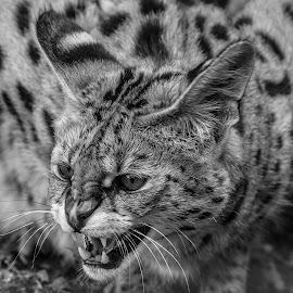Serval by Garry Chisholm - Black & White Animals ( garry chisholm, cat, serval, nature, black and white, wildlife )