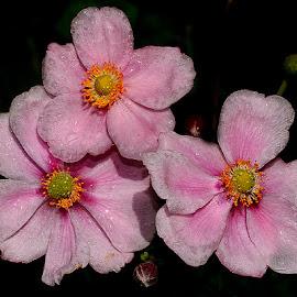 Trio d'anémones by Gérard CHATENET - Flowers Single Flower