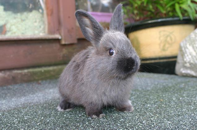 Image result for american sable rabbit