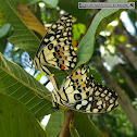 Lime butterfly, pair