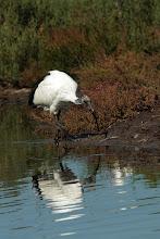 Photo: Ibis sacré (Camargue)