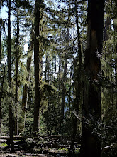 Photo: Lichen-covered forest