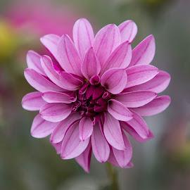 Nice Purple by Janet Marsh - Flowers Single Flower ( dahlia, purple )