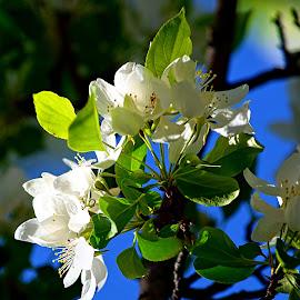 Shining Blossoms by Rob Bradshaw - Flowers Tree Blossoms ( flowers, springtime, spring blossoms, tree blossoms, university of washington, blossoms, shining blossoms )