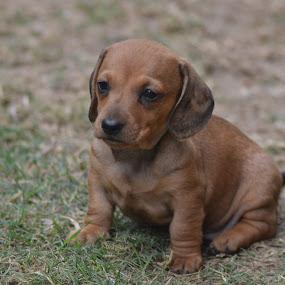 im adorable by Justine McGrath - Animals - Dogs Puppies ( pwcbabyanimals, silky, green, brown, cute, pwcpuppies, eyes )