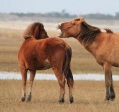 Photo: ALL ABOUT the horses of Rachel Carson Reserve: http://beaufortsbest.blogspot.com/2013/03/blog-post.html