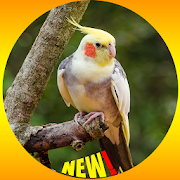 Cockatiel Bird Wallpaper HD