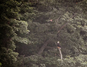 Photo: Bald Eagle in the tree